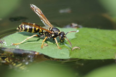 IMGP8578 (PahaKoz) Tags: лето природа сад summer nature garden фауна насекомое оса жара вода пруд fauna insect wasp heat water pond macro макро