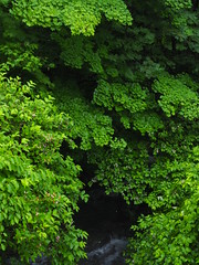 layers (murozo) Tags: leaf branch tree green tender water river akita nikaho japan 葉 緑 枝 木 水 川 秋田 にかほ 日本