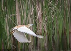 Squacco heron in Danube Delta, Romania (fernechino) Tags: danubedelta romania birds squaccoheron