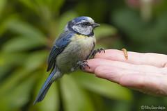 Blue Tit (Mrs.Geordiepix) Tags: bluetit tit gardenbird