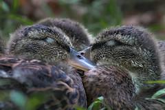 "Sleepy Siblings  3I9108 (Dr DAD (Daniel A D'Auria MD)) Tags: mallards ducks ducklings bird birds birding nature wildlife animal ""wildlifephotography"" ""naturephotography"" ""birdphotography"" avian ""avianspecies"" ""avianphotography"" ""birdinginthewild"" feathers ""featheredfriends"" ""worldbirds"" ""birdsoftheworld"" flight ""inflight"" colors wings ""danielad'auriamd"" ""children'swildlifebooksbydanielad'auriamd"" ""drdadbooks"" ""orphanedducklings"" waders ""babybirds"""