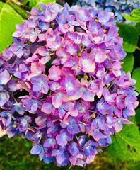 Hydrangea sliding (karma (Karen)) Tags: baltimore maryland bushes flowers blooms hydrangea saturated iphone hss