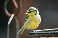 Tufty (Trev 'Big T' Hurley) Tags: bluetit bird garden gardenbird cyanistescaeruleus