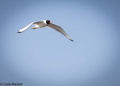 Pallas gull in the Danube Delta (fernechino) Tags: danubedelta romania birds pallasgull