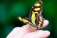 _DSC6819 (Lux Aeterna - Eternal Light) Tags: butterfly macro beautiful sony a7r3 90mm