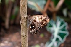 _DSC6798 (Lux Aeterna - Eternal Light) Tags: butterfly macro beautiful sony a7r3 90mm