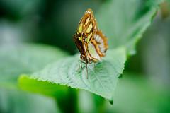 _DSC6818 (Lux Aeterna - Eternal Light) Tags: butterfly macro beautiful sony a7r3 90mm