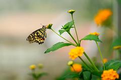_DSC6811 (Lux Aeterna - Eternal Light) Tags: butterfly macro beautiful sony a7r3 90mm