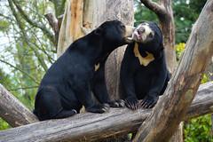 Malaysian Sun Bear (Helarctos malayanus) (Seventh Heaven Photography) Tags: malaysian sun bear helarctosmalayanus helarctos malayanus animal mammal milli female chester zoo cheshire england nikond3200 carnivore ursidae vunerable mum daughter kyra