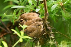 Baby wrens (marcels_pics) Tags: bird wildlife wrens baby a7rii sony