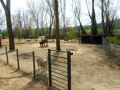 Lamas (Going to the Zoo with Trebaruna) Tags: leowildpark collevalenzazoo collevalenzafattoriadidattica zoo enclosures enclosure italy italia 2019 02042019
