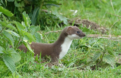 Stoat (hedgehoggarden1) Tags: stoat mammal animal wildlife nature creature sonycybershot yorkshire northcave uk sony