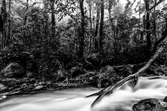 Savegre River (Chris Jimenez - Take Me To The Wild) Tags: vegetation tours birding nature water birds takemetothewild workshops river costarica cloudforest bird movement fog shapes blackandwhite chrisjimenez rio