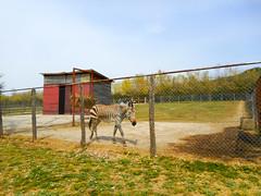 Hartmann zebra (Going to the Zoo with Trebaruna) Tags: leowildpark collevalenzazoo collevalenzafattoriadidattica zoo enclosures enclosure italy italia 2019 02042019