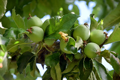 Baby Apples 540 (Donna's View) Tags: nkon d3300 apples appletree backyard