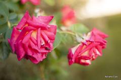 _DSC1007 (Adriano Clari) Tags: flowers flower fiori nontiscordardime garden giardino macro 50mm colori outdoor adriano clari fiore erba albero foglie pianta insetto ape farfalle campo fioritura