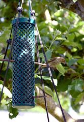 Pine Siskin 551 (Donna's View) Tags: nikon d3300 finch pinesiskin spinuspinus birdfeeder sunflowerseedfeeder sunflowerseeds tree appletree bird