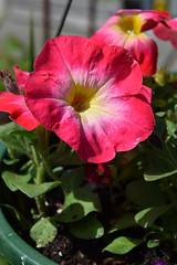 June in Bloom 533 (Donna's View) Tags: nikon d3300 petunia flower hangingbasket backyard