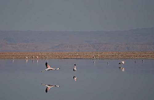 Chile - Laguna Chaxa - flamingos
