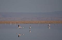 Chile - Laguna Chaxa - flamingos (Harshil.Shah) Tags: chile atacama san pedro laguna chaxa flamingo flamingos bird birds flying fly reflection water lake lago nature wildlife desert andes america latin south