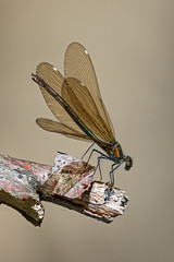 Blaufügelige Prachtlibelle Weibchen (Manuela Droz) Tags: nature natur dragonfly libelulle libellen fotographie insekte nikonnature animals