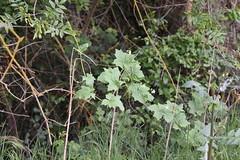 Bryonia dioica (esta_ahi) Tags: riudefoix santmartísarroca penedès barcelona spain españa испания bryonia dioica bryoniadioica nueza cucurbitaceae flor flora flores silvestres enredadera