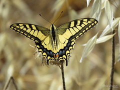 Old World Swallowtail. (Vitaly Giragosov) Tags: oldworldswallowtail butterfly insect russia crimea sevastopol papiliomachaongorganus махаон бабочка россия севастополь крым