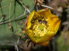 Bee in Bloom (GoodLifeErik) Tags: blackmountainopenspacepark park yellow flowers flower bloom blooms bloomingcactus macro cactus pricklypear bee pollination pollen beeinflower nature sandiego