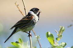 Reed Bunting-7D2_4557-001 (cherrytree54) Tags: reed bunting rspb dungeness canon sigma 7d 150600