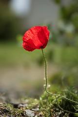 Papaver rhoeas / Poppy (~ Jessy S ~) Tags: poppy coquelicot red touge sky blue ciel bleu flower fleur flora nikon d750 nikkor 105mm macro 28 macrophotography
