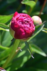 June in Bloom 532 (Donna's View) Tags: nikon d3300 flower garden backyard peony
