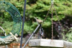 House Finch 542 (Donna's View) Tags: nikon d3300 finch bird housefinch haemorhousmexicanus birdfeeders peanutwreath