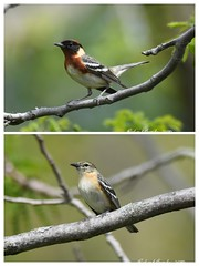 Bay breasted warblers-COLLAGE (eddissonuk) Tags: warbler collage male female