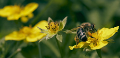 flowerline with a bee (chribs) Tags: nature wildlife insects natur outdoor bee biene insekten makro macro