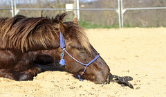 Tired horse (darvoiteau) Tags: cheval horse animal animals animaux canon eos 77d 77 d digital nature natural naturales sable sand repos france europe europa french frenchstye frenchhorse ecurie horsetraining tired fatigue amazing beautiful cool explore explorer flickr instagram darvoiteau equitation campain campagne shot shoot shooting