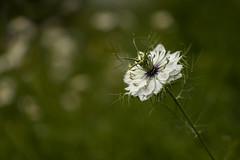 Nigella Damascena (~ Jessy S ~) Tags: flower fleur flora nikon d750 nikkor 105mm macro 28 macrophotography