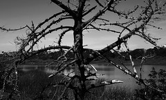 ~Remnants of a Monterey Cypress~ (~☮Rigs Rocks☮~) Tags: rigsrocks montereycypress lake tree notliving water branches wood extinct inanimate lifeless blackandwhitephotos tones 2019photos lakemerced dalycity california tules
