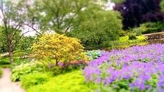Whitsunday (farmspeedracer) Tags: bloom summer june juni 2019 tree flower purple yelow pond park sunday pfingsten pfingstsonntag sunny outside nature natur