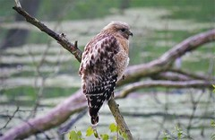Red-shouldered Hawk (angelakenny1) Tags: redshoulderedhawk eaglecreekpark hawk birds birdofprey