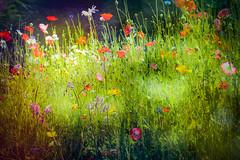 Wild Flower Garden (judy dean) Tags: judydean 2019 lacock textures ps village garden wildflowers poppies cornflower daisies borage grass