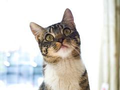 Clara. (Andres Bertens) Tags: 8639 olympusem10markii olympusomdem10markii olympusm25mmf18 olympusmzuikodigital25mmf18 rawtherapee pet cat