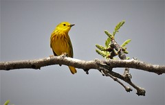 Yellow Warbler (angelakenny1) Tags: yellowwarbler eaglecreekpark yellow birds