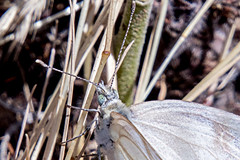 White Butterfly (Anna Gurule) Tags: butterfly white nature insects artedgy annagurule annaortizgurule outside flying