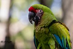 IMG_7205 (alfredo.rossitto) Tags: color bird birds parrot parrots