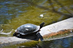 DSC_5030 (adamsdale616) Tags: northern color beauty nature animal wildlife outdoor waterfront wisconsin • dusk autumn golden water pond sky light new usa spring summer animals midwest colorful landscape nikon d7200 reflection detail closeup turtles turtle