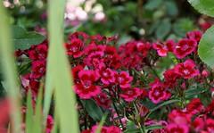 (farmspeedracer) Tags: june junin 2019 whit sunday whitsunday flower blume fleur flores pink magenta garden germany park bloom
