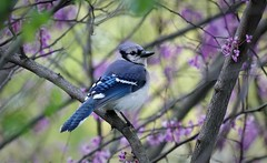 Blue Jay (angelakenny1) Tags: bluejay birds spring blue eaglecreekpark
