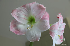 Pink & White Amaryllis - Stannington Northumberland England (WanderingPJB) Tags: flickruploaded pinkpurple flowers england northumberland amaryllis stannington