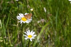 Par-ci par-là (PierreG_09) Tags: seix ariège pyrénées pirineos couserans occitanie midipyrénées flor flore fleur plante marguerite papillon