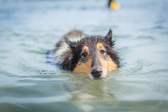 23/52 Leia & swimming (shila009) Tags: leia perro dog roughcollie portrait retrato playa beach water agua 2352 52errksfordogs